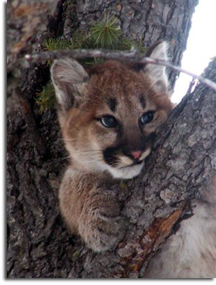 Montana mountain lion